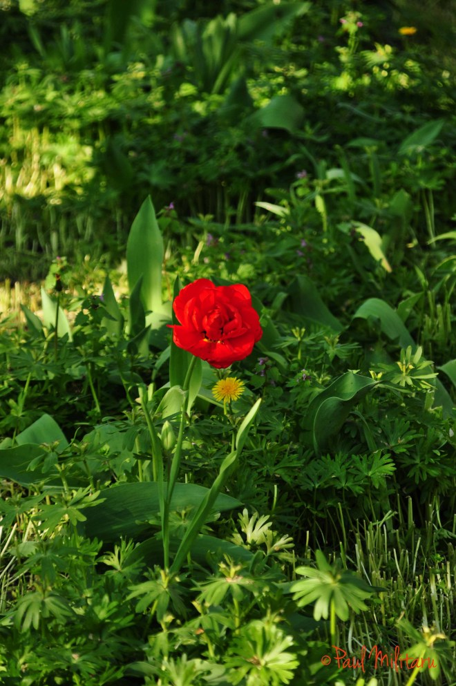 solitary red tulip